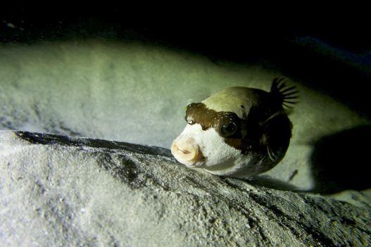 Un petit poisson coffre vient nous observer