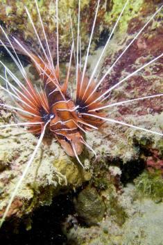 Un poisson scorpion avec ses aiguillions. tout comme la rascasse volante, sa piqure est redoutable.