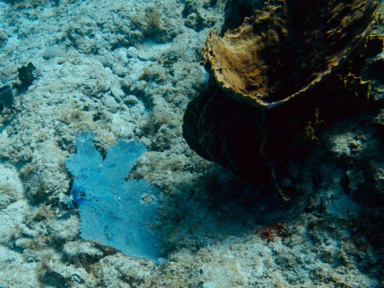 Photo sous-marine d'une gorgone cassée