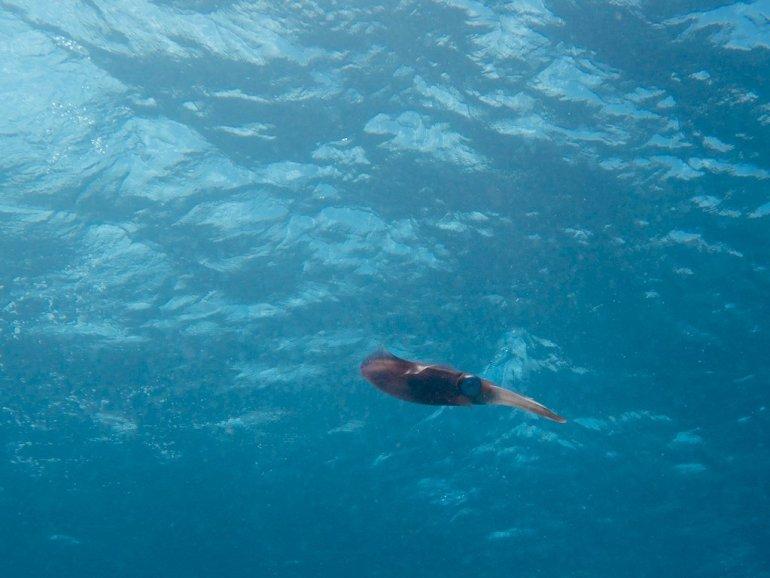 Calamar en pleine eau lors d'une plongée Jamaïcaine