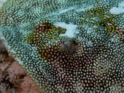 Une raie reste impassible dans le fond de l'océan et se laisse approchée de près