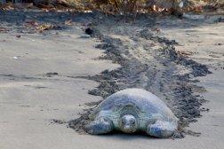 Une tortue marine arrive au milieu de la plage