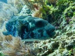 Un tétrodon vu en plongeant à Mayotte