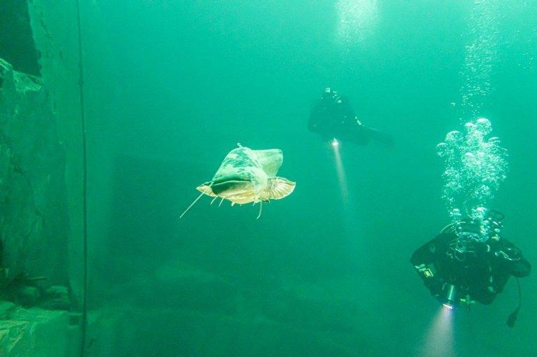 Deux plongeurs suivent le silure