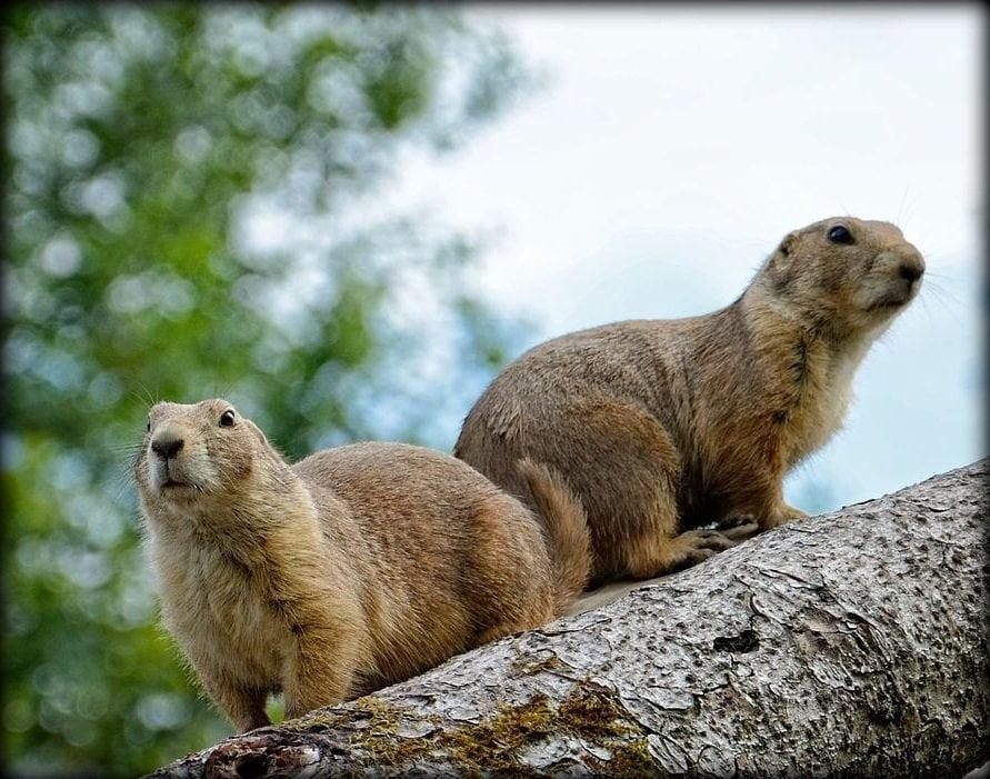 Differenza tra marmotta e castoro  Qual  la differenza tra