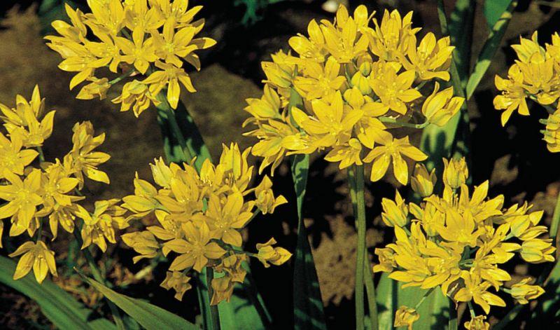 Allium moly  Allium luteum