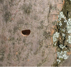 """Mature emerald ash borers leave behind a distinct """"D"""" shaped exit hole, providing evidence of the pest."""
