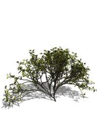 Small_Bush