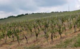 Die Kulturlandschaft: Weinstöcke