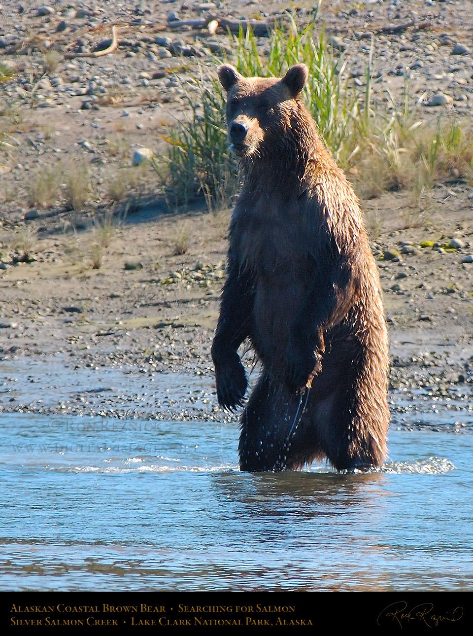 Alaskan Coastal Brown Bear Scenic and Portrait