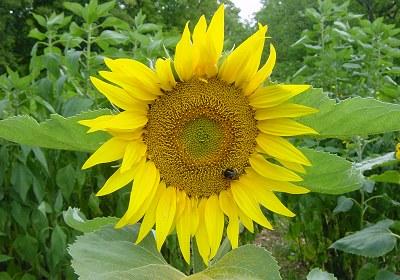 Digital Postcard Bild Sonnenblume