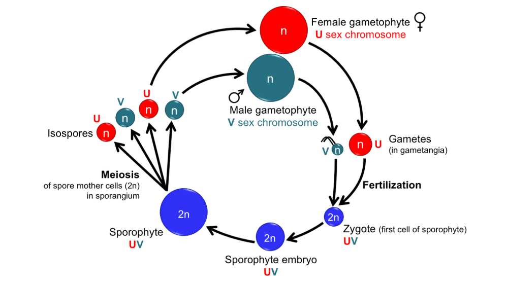 medium resolution of diagram showing the life cycle of a land plant with unisexual gametophytes and sex chromosomes
