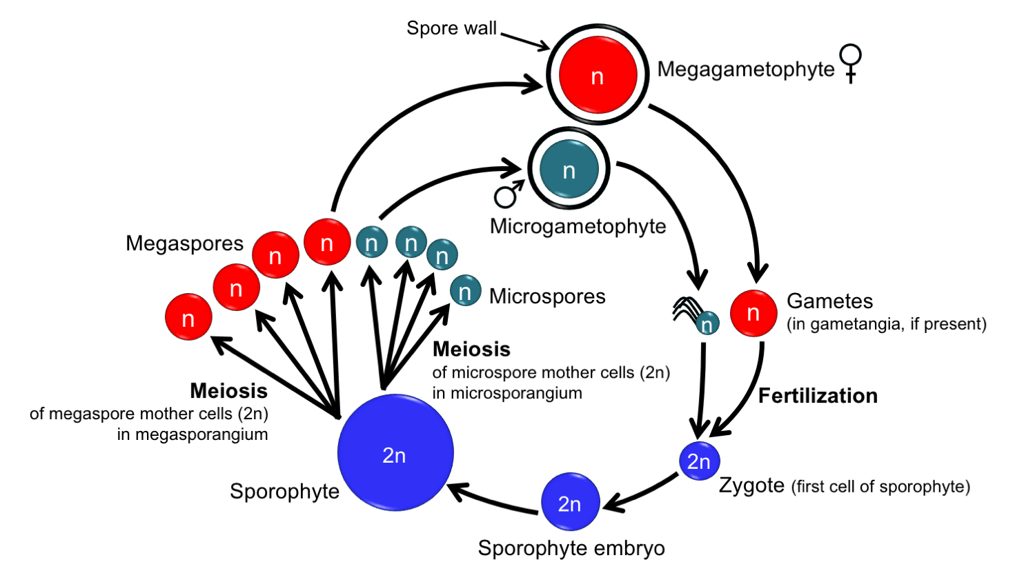 In The Diagram Which Multicell Structure Is Diploid 2n