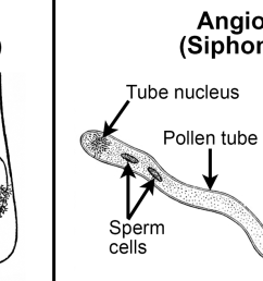 2 panel figure panel 1 two flagellated cycad sperm cells in pollen grain [ 1500 x 658 Pixel ]