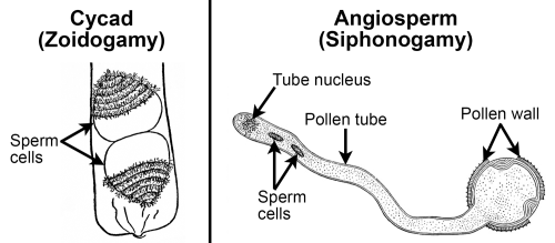 small resolution of 2 panel figure panel 1 two flagellated cycad sperm cells in pollen grain