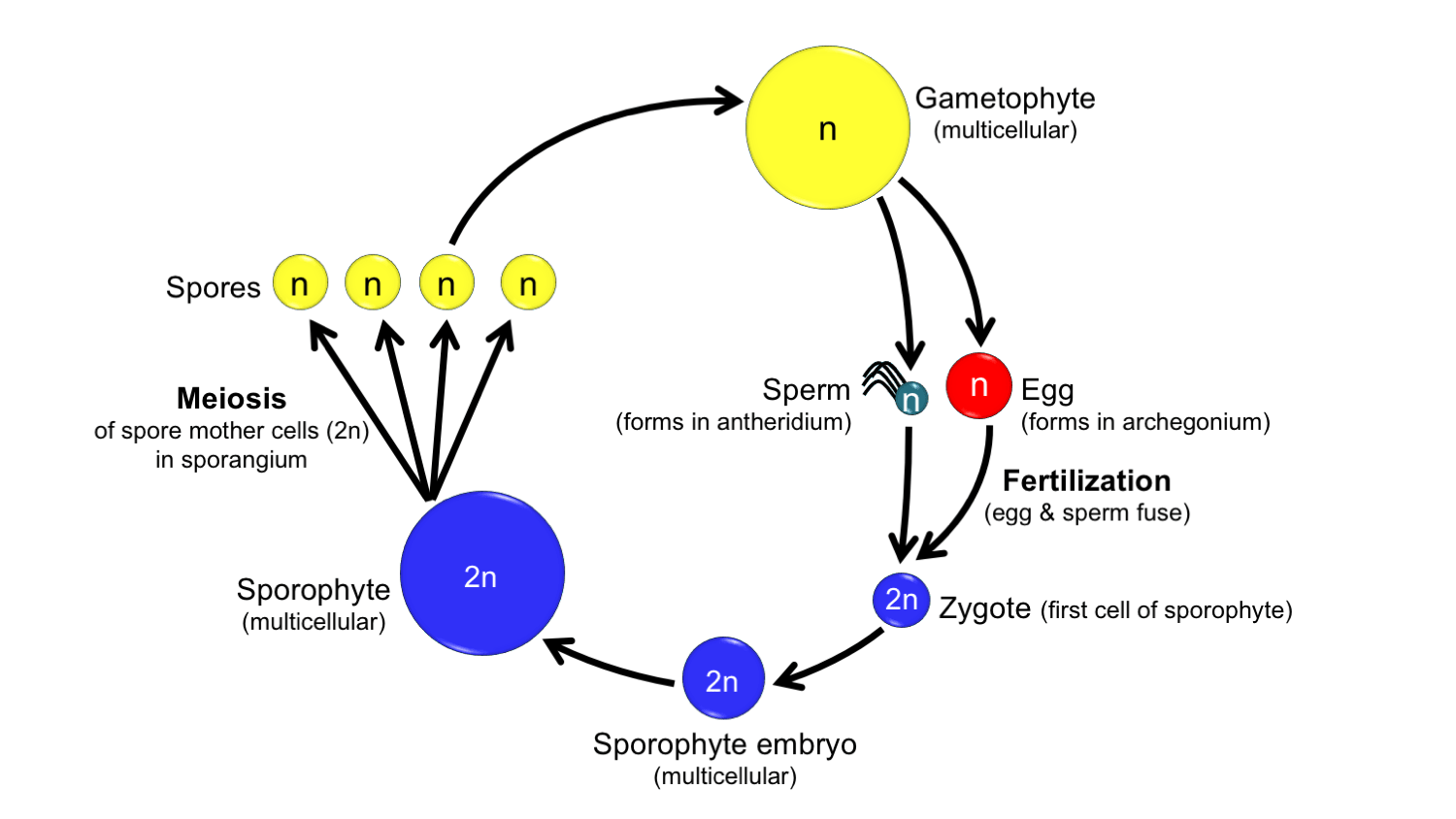 hight resolution of generalized land plant life cycle