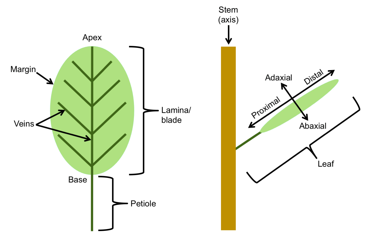Leaf Structure Amp Evolution