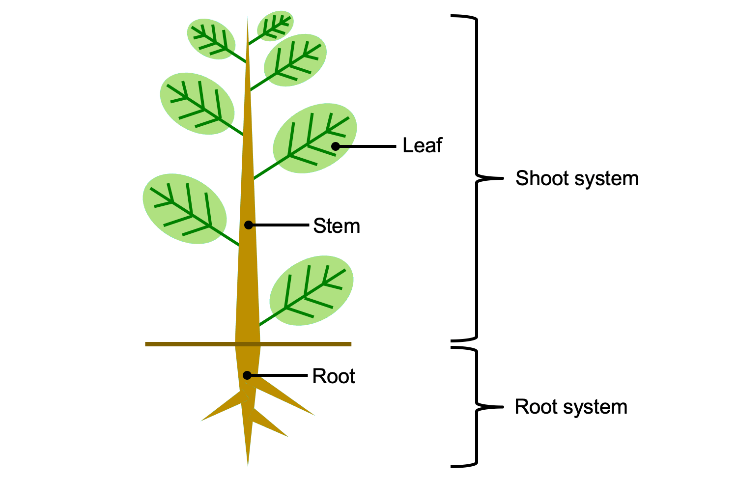 Introduction To Vascular Plant Structure