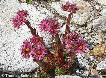 BergHauswurz Sempervivum montanum