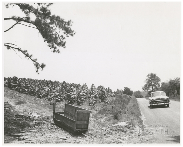 Tobacco field with a tobacco sled at left, 1957.