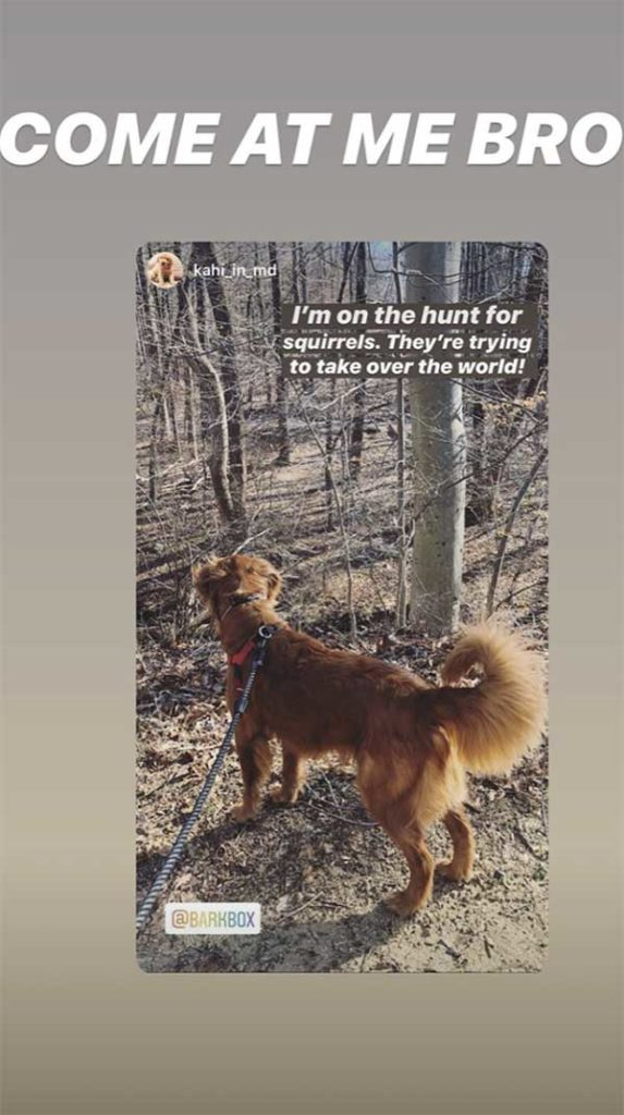 "An Instagram story from a BarkBox follower of a golden retriever on a walk with text ""I'm on the hunt for squirrels. They're trying to take over the world!"""