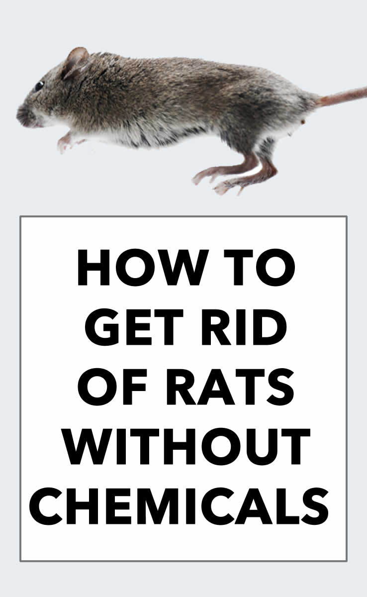 How to Remove Rats Without Chemicals