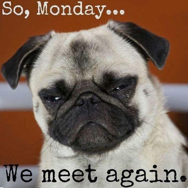 Pug Monday Meme