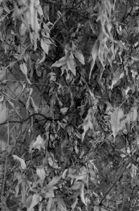 leaves_105_b&w_edited_web
