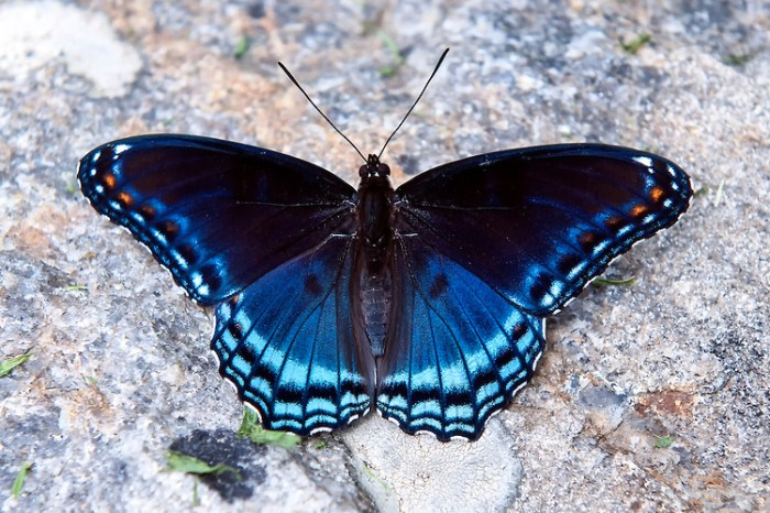 Red-spotted-Purple-Butterfly