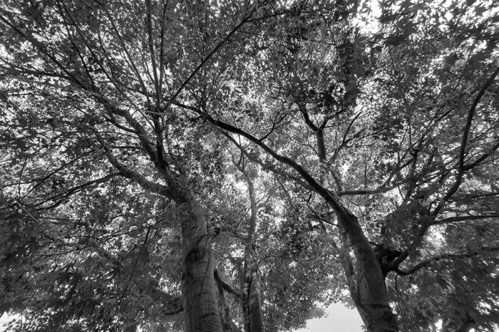 A135A_20200913_Tree_BW_Web
