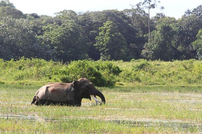 Gajah Ditemukan Mati, Kepalanya Hilang di Kebun Sawit Aceh