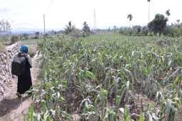 Erupsi Sinabung Rusak Lahan Pertanian, Kerugian Ditaksir Puluhan Miliar