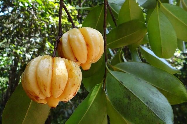 weight loss pills-garcinia cambogia fruit
