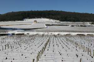 La vigne attend le retour du froid