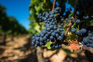Réchauffement climatique: la Bourgogne privée de pinot… et de chevreuils