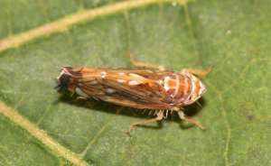 La cicadelle, responsable © Yerko / Wikimedia Commons