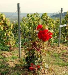 Hep sommelier! Des roses dans les vignes?