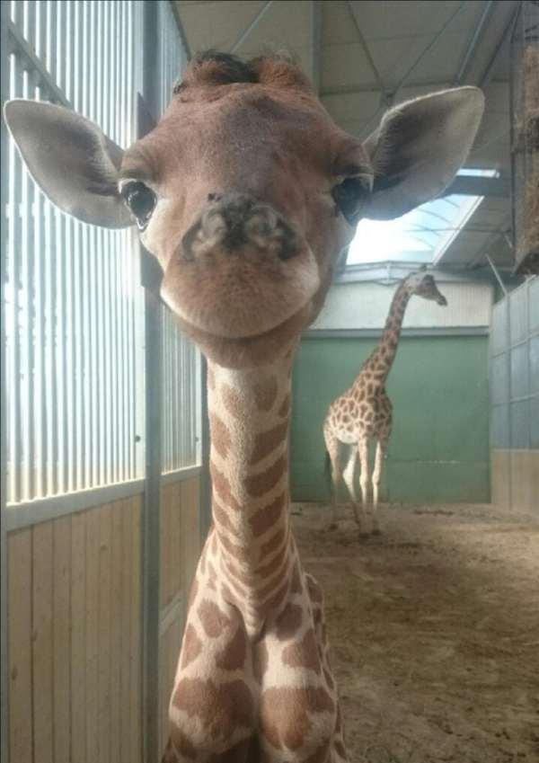 photo girafon 2