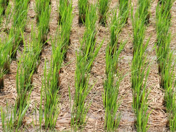 Farmers who cultivate rice farm at Akyem Akenkanoh asking Government for help