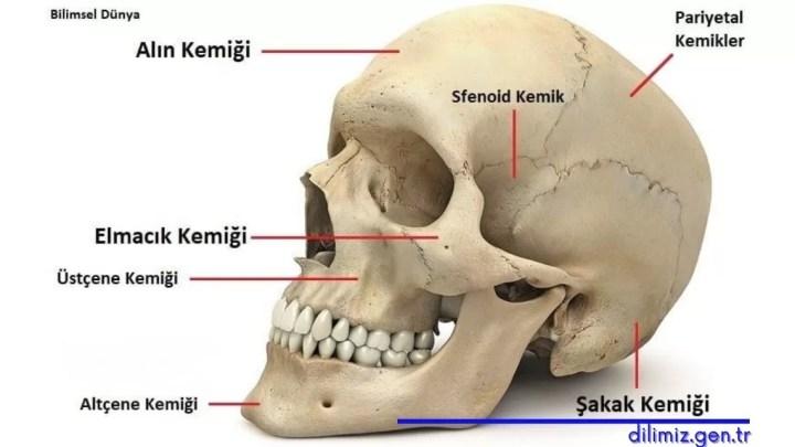 Yüz Anatomisi Kemik Yapısı