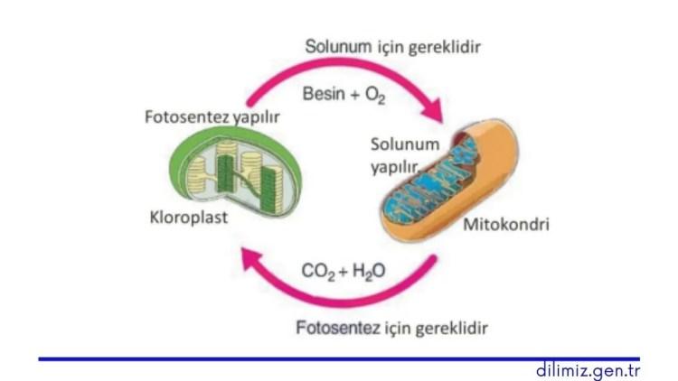Fotosentez ve Hücresel Solunum İlişkisi