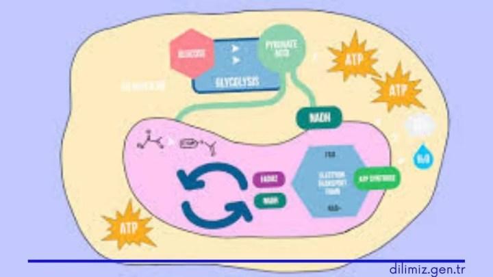 Hücresel Solunum Nedir? Kısaca