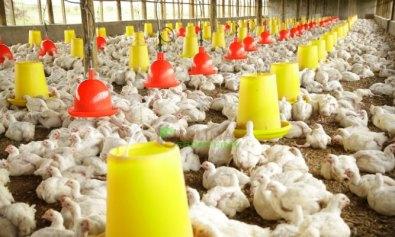broiler chicken side effect