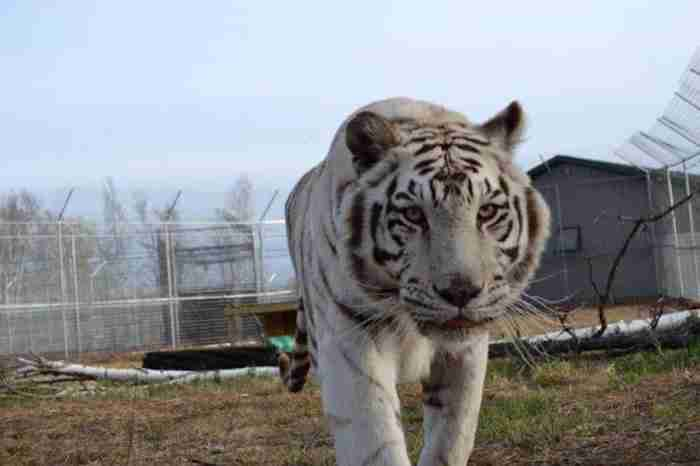 Δυο κακοποιημένα ζώα, μια τίγρης και μια λεοπάρδαλη προσπαθούν με τη φιλία να ξεπεράσουν τα τραύματα τους