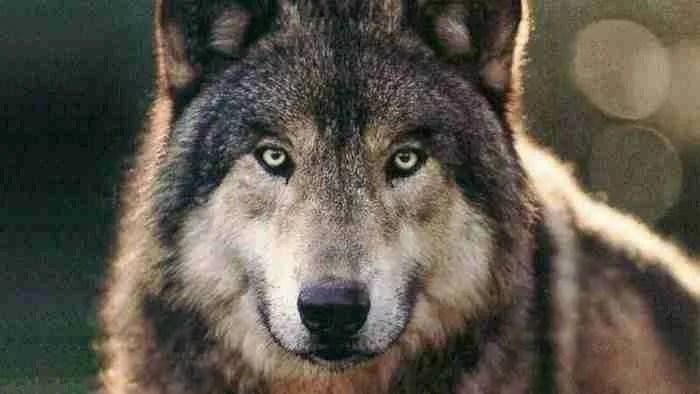 Taimyr: Το αρχαίο λυκόσκυλο που έγινε ο πρώτος καλύτερος φίλος του ανθρώπου