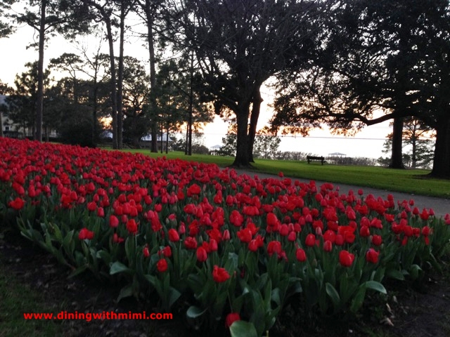 My Sunset Tulips near the Bay