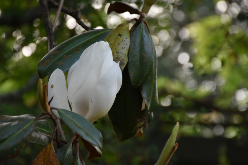 Southern Magnolias are in bloom for Dewberry Favors the Brave www.diningwithmimi.com