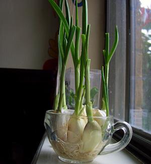 usturoi - legume si ierburi care se regenereza - legume perene