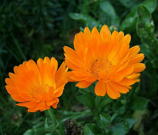 flori care alunga tantari din gradina - Calendula