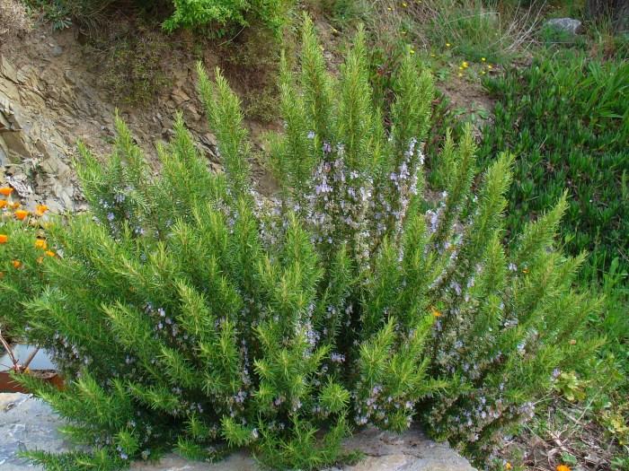 plante aromatice anti-tantari din gradina - Rosmarinus_officinalis_0001
